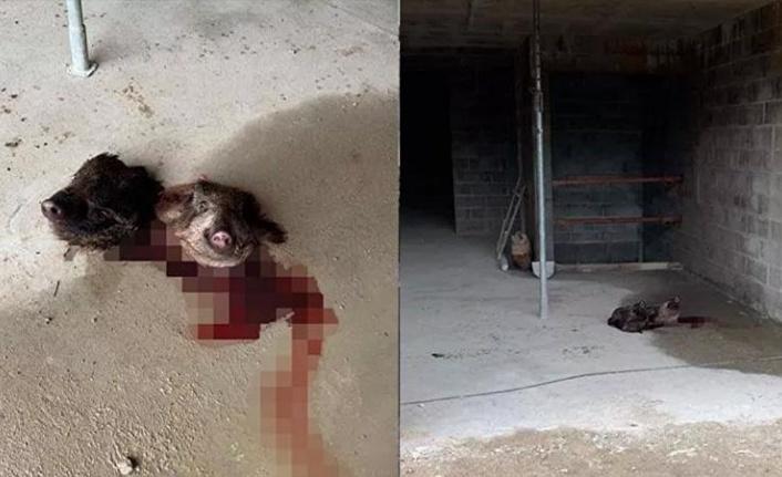 Fransa'da Camiye Alçak Saldırı: İki Yabani Domuz Başı Bırakıldı