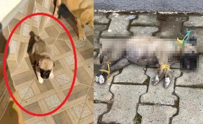 Ayaklarını ve Boynunu Bağladılar: Yavru Köpek Böyle Öldürdüler!