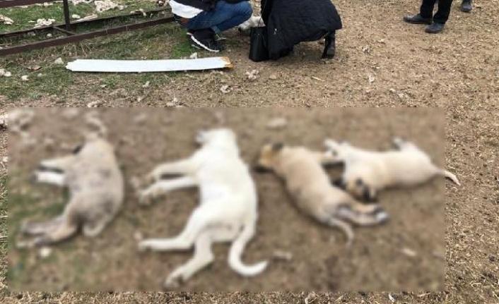 Ankara'da 8 Köpek Zehirlendi: 4'ü Telef Oldu!