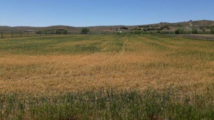 Ankara'da Tahıl Alanlarında Yüzde 70 Ürün Kaybı Yaşandı