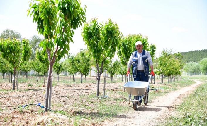 Ekoköy'de Ağaçlar Meyve Verdi