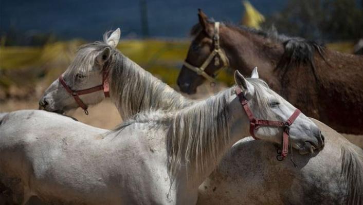 İBB'den 'Kayıp At' Açıklaması: 224 At Bakımsızlıktan Öldü!