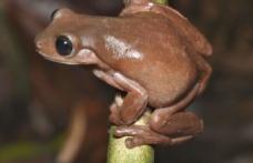Sütlü Çikolata Renginde Yeni Bir Kurbağa Türü Keşfedildi