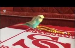 Sivasspor Tezahüratları Atan Muhabbet Kuşu