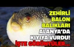 Zehirli Balon Balığı Alanya'da Kıyıya Vurdu: İşte Görüntüler!