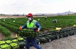 Ankara'da Tarım Arazilerinden Üretim Atağı: İlk Sebze Hasadı