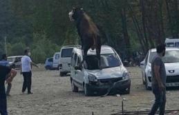 Kurbanlık Boğa Park Halindeki Araca Çıktı