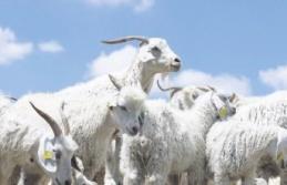 Ankara Keçisi Sayısında Büyük Artış