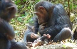 Öksüz Şempanzeler Annesizliğin Acısını Bir Ömür Boyu Çekiyor