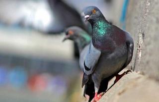 Kuşa kalp masajı yaparak hayata döndürmeye çalıştı