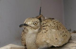 Trabzon'da Doğaya Salınan Yakalı Toy Kuşu...