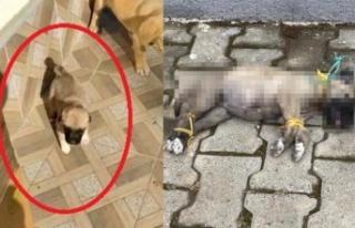 Ayaklarını ve Boynunu Bağladılar: Yavru Köpek...