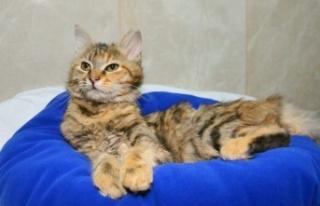 Keçiören'in Minik Kedileri Yeni Sahiplerini...