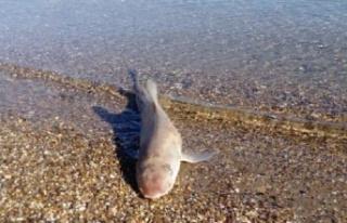 Ölü Köpek Balığı Bodrum'da Karaya Vurdu