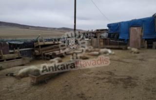 Ankara'da Koyunlar Telef Oluyor: Besici Çözüm...