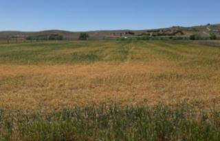 Ankara'da Tahıl Alanlarında Yüzde 70 Ürün Kaybı...