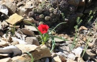 Yılda Sadece 15 Gün Görülen Endemik Dağ Lalesi...
