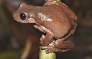Sütlü Çikolata Renginde Yeni Bir Kurbağa Türü...