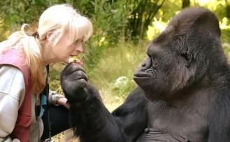 ABD'de Koronavirüs Gorillere Bulaştı