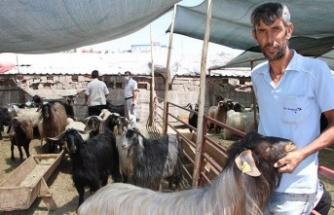 Kalan Kurbanlıkları Et ve Süt Kurumu Satın Alacak