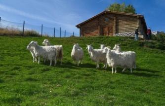 Ankara Keçileri Altınköy'de