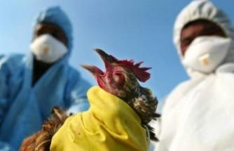 Avrupa'da Kuş Gribi Alarmı! Tehlike Büyüyor...