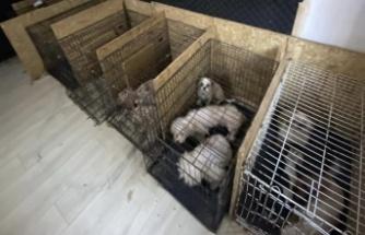 Ankara'da Bodrum Katında Kaçak Köpek Üretim Merkezi!