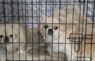 Ankara'da Köpek Operasyonu: Havlamasınlar Diye Ses Tellerini Kesmişler