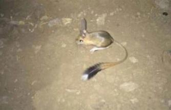 'Kırmızı Listede' Yer Alan Arap Tavşanı Şırnak'ta Görüntülendi