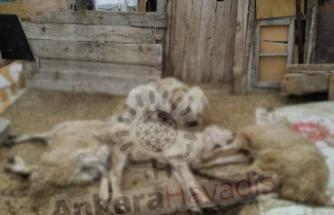 İlçe Tarım Hamile Hayvanlara Aşı Yaptı, Koyunlar Telef Oldu!