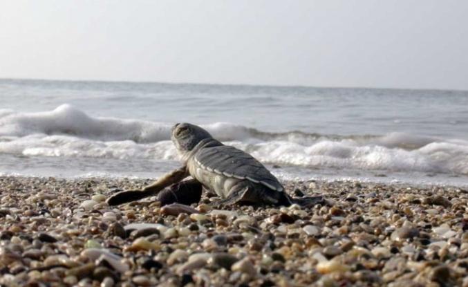 Deniz Kaplumbağaları Denizle Buluştu