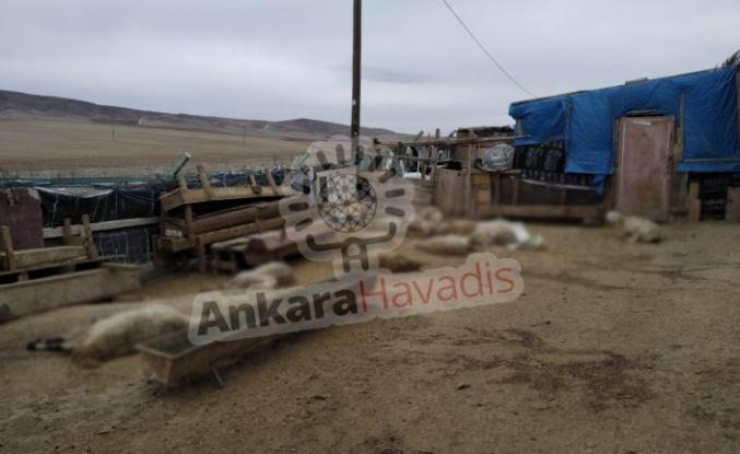 Ankara'da Koyunlar Telef Oluyor: Besici Çözüm Bekliyor!
