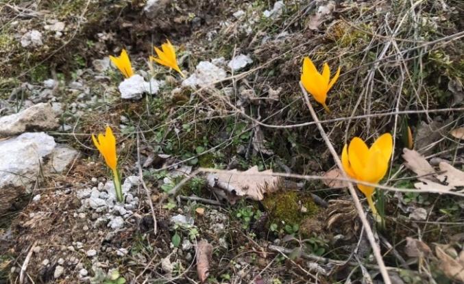Baharın Müjdesi Çiğdemler Ankara'da Nefes Kesti