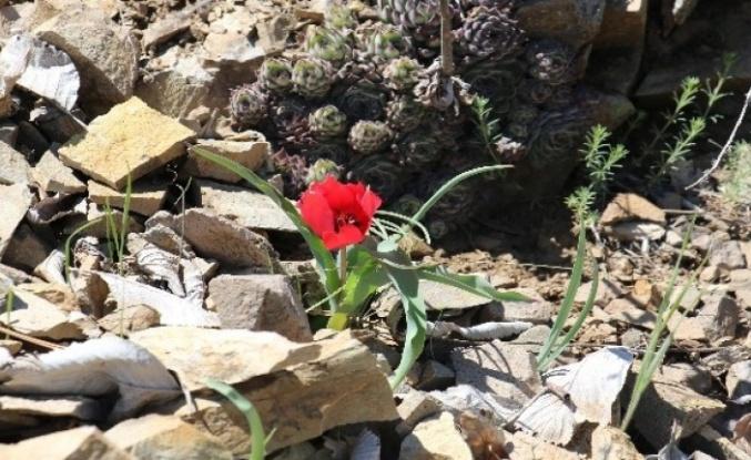 Yılda Sadece 15 Gün Görülen Endemik Dağ Lalesi Kızılcahamam'da Açtı!